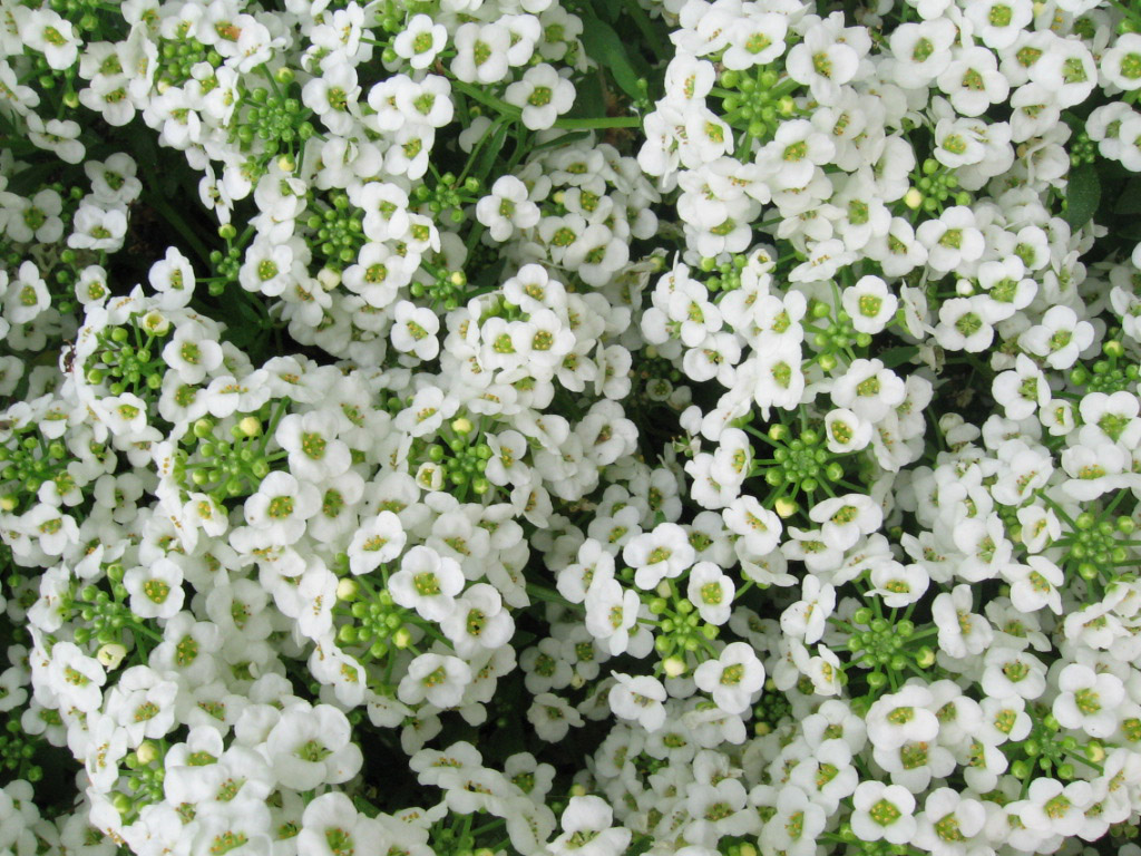 Sweet Alyssum Licensed Under Cc By Sa 3 0 Via Wikipedia