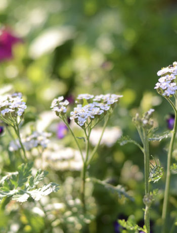 yarrow, cottage garden, white flowers